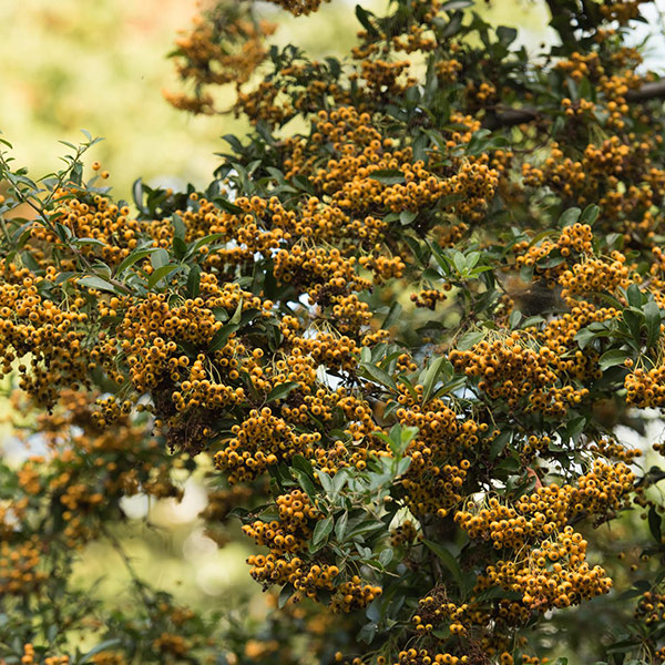 firethorn (syn. Saphyr Yellow)