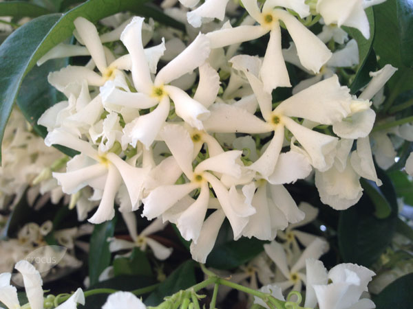 buy star jasmine trachelospermum jasminoides delivery by crocus. Black Bedroom Furniture Sets. Home Design Ideas