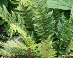 Click to view product details and reviews for Polystichum Aculeatum Hard Shield Fern.