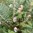 Polystichum setiferum (Divisilobum Group) Herrenhausen