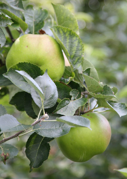 apple 'Bramley's Seedling'