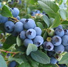 blueberry Bluecrop - mid-season fruiting