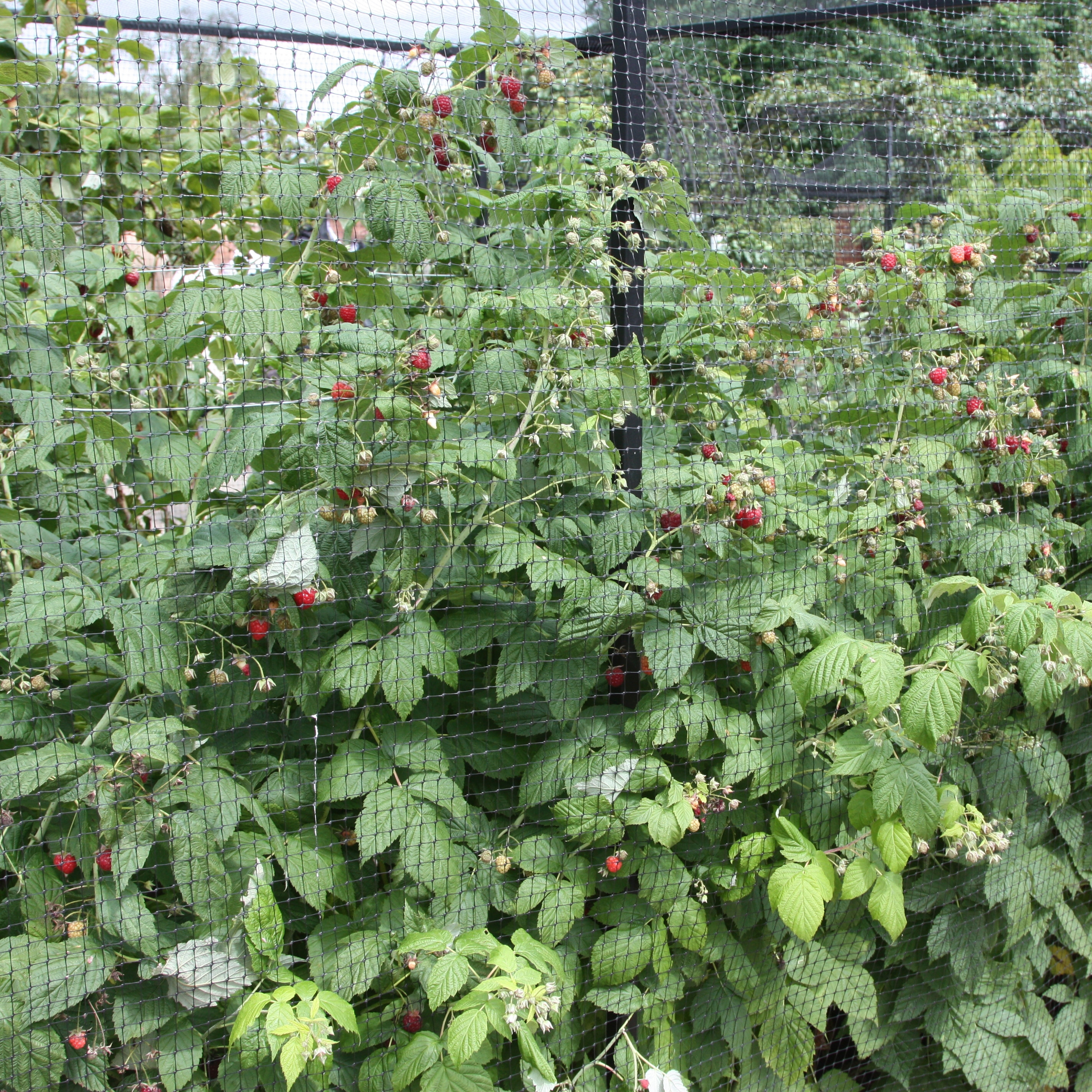 raspberry Autumn Bliss - autumn fruiting