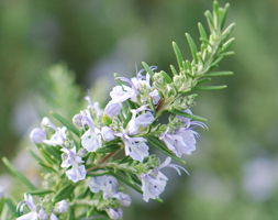 Click to view product details and reviews for Rosemary Rosemary Rosmarinus Officinalis.