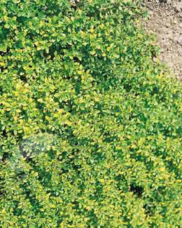 golden-scented thyme