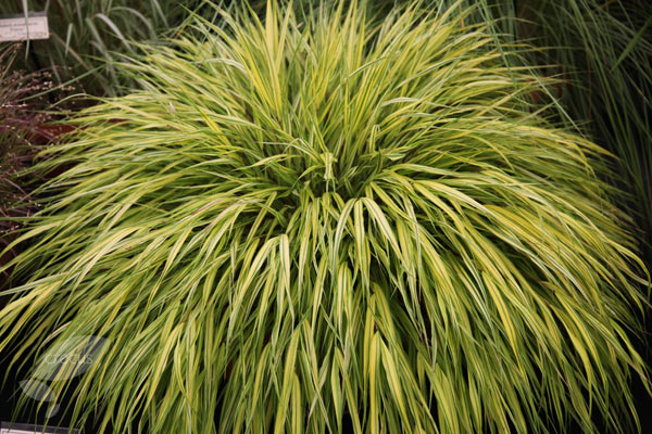Buy golden hakonechloa hakonechloa macra 39 alboaurea 39 for Short ornamental grasses full sun