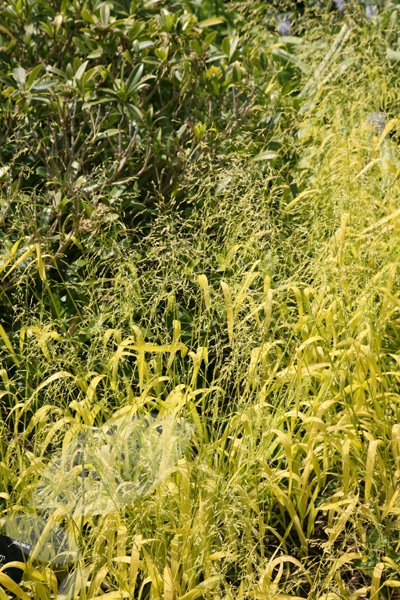 Bowles' golden grass