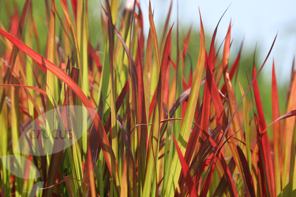 blood grass (syn. Red Baron)