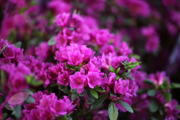 evergreen azalea (syn. Geisha Purple)