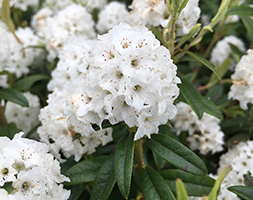 Image of Rhododendron Arctic Tern Dwarf Rhododendron 2 litre pot
