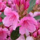 Rhododendron Pink Pearl (hybrid)