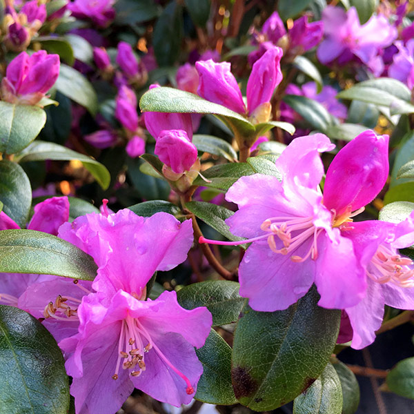 Image of Rhododendron Praecox Dwarf Rhododendron 2 litre pot