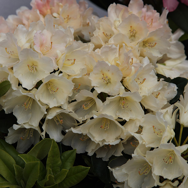 buy yakushimanum rhododendron rhododendron 39 golden torch. Black Bedroom Furniture Sets. Home Design Ideas