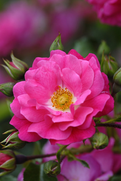 rose Pink Flower Carpet (ground cover rose)
