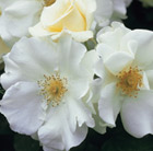 Rosa Flower Carpet White ('Noaschnee') (PBR)