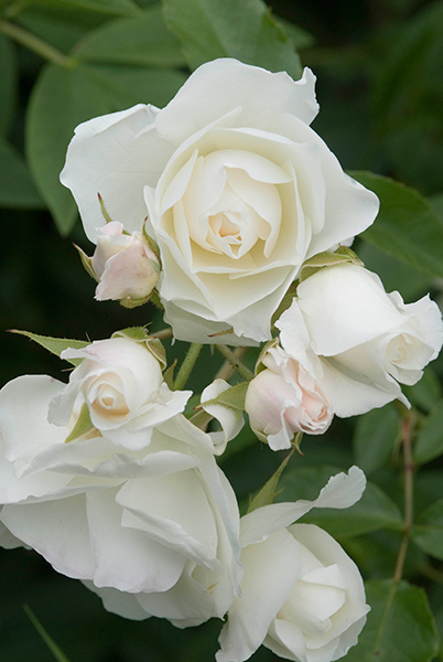 Buy rose iceberg bush floribunda rosa 39 iceberg 39 korbin for Rosa iceberg