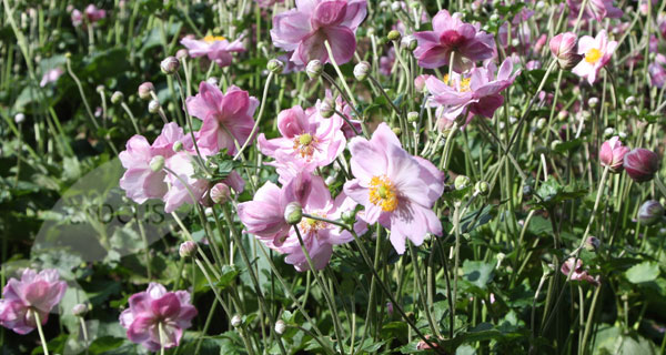 Japanese anemone  ( syn. Queen Charlotte )