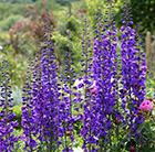 Delphinium Black Knight Group