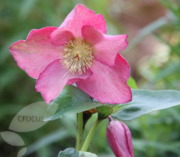 Growing Hellebores Those Lovely Harbingers Of Spring: Buy Hellebore / Lenten Rose Syn. (Helleborus Orientalis