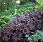 Heuchera villosa Palace Purple2000025346