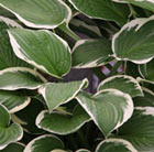 Hosta Francee (fortunei)