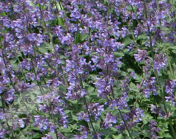 Nepeta racemosa 'Walker's Low' (catnip)