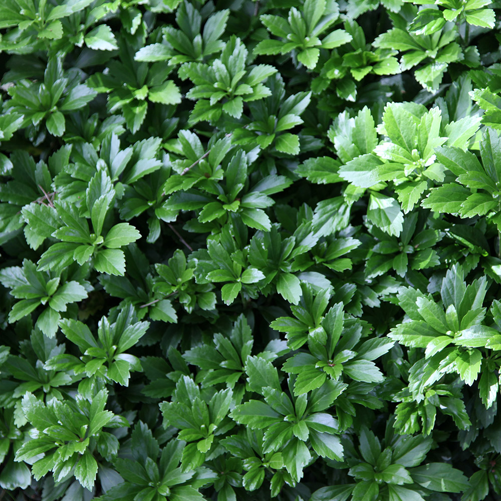 Buy Japanese Spurge Pachysandra Terminalis Delivery By