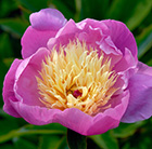 Paeonia lactiflora Bowl of Beauty