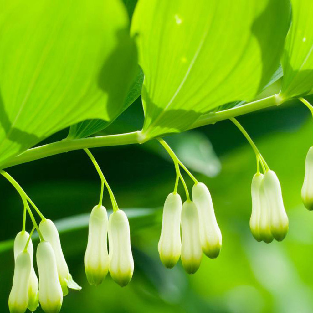 common Solomon's seal (Syn. Polygonatum multiflorum)