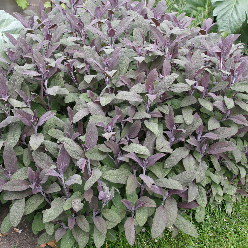 purple sage / Salvia officinalis 'Purpurascens'