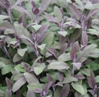 Salvia officinalis Purpurascens