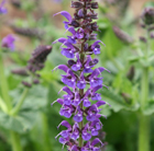 Salvia × sylvestris Mainacht