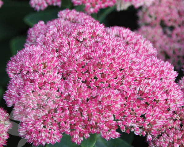 stonecrop (syn Autumn Joy)