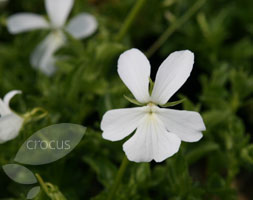Viola Cornuta 'Alba Group' (Horned Violet)
