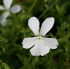 Viola cornuta Alba Group