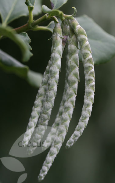 silk-tassel bush