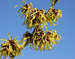 Hamamelis x Intermedia 'Pallida' (Witch Hazel)