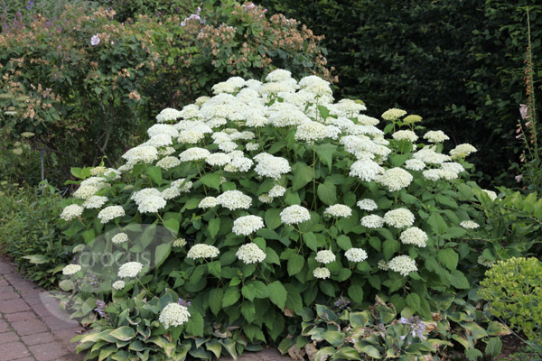 buy sevenbark hydrangea arborescens 39 annabelle 39 delivery by crocus. Black Bedroom Furniture Sets. Home Design Ideas