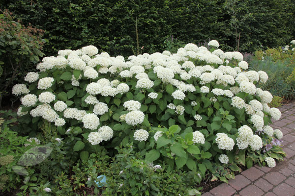 buy sevenbark hydrangea arborescens 39 annabelle 39 delivery by waitrose garden in association with. Black Bedroom Furniture Sets. Home Design Ideas
