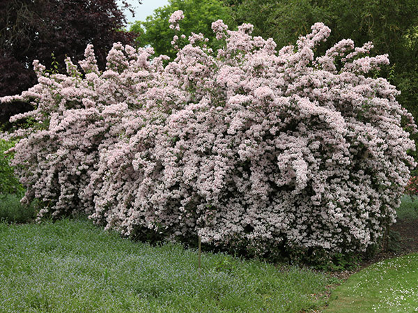 beauty bush