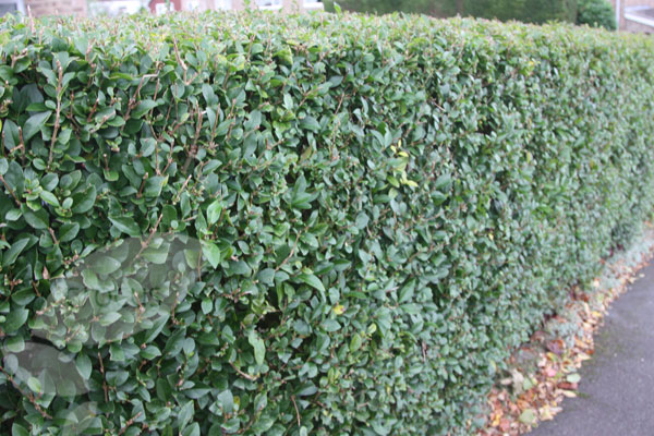 how to grow privet hedge fast