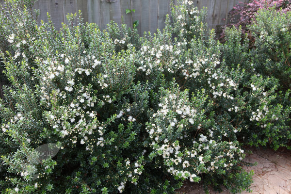 Buy Myrtle Myrtus Communis Subsp Tarentina Delivery By