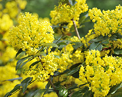 Click to view product details and reviews for Mahonia Aquifolium Aposapolloapos Oregon Grape.
