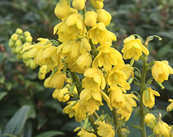Click to view product details and reviews for Mahonia X Media Aposcharityapos Mahonia.