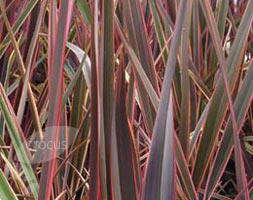 Click to view product details and reviews for Phormium Aposmaori Queenapos New Zealand Flax Phormium Rainbow Queen.