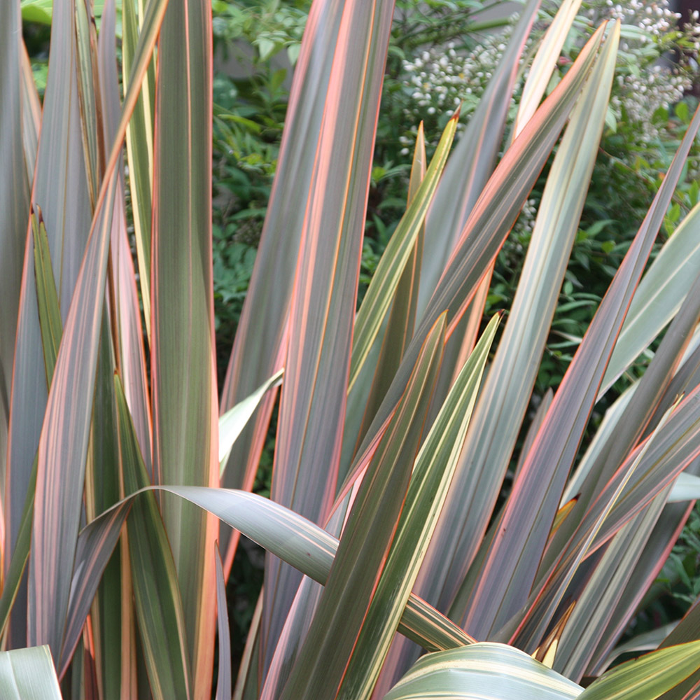 New Zealand flax (Phormium Rainbow Queen)