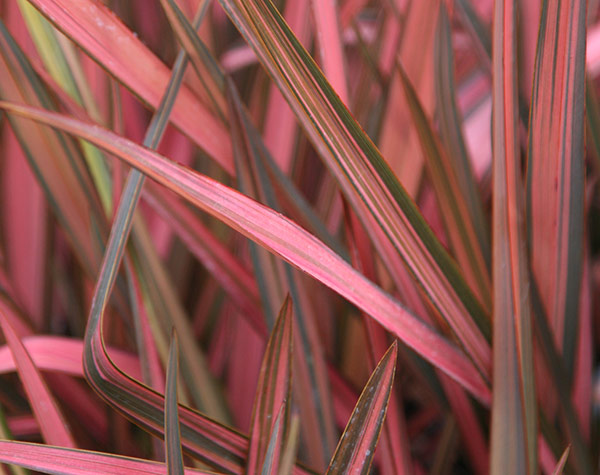 New Zealand flax (syn. Rainbow Sunrise)