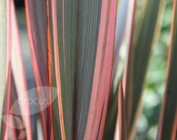 Click to view product details and reviews for Phormium Apossundownerapos New Zealand Flax.