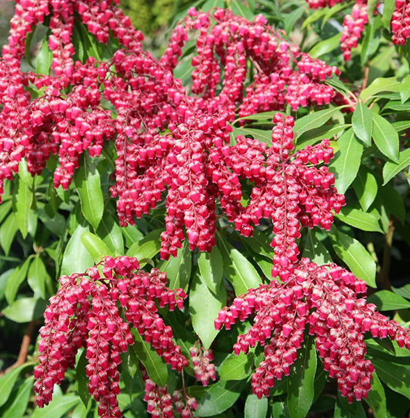 Buy Lily Of The Valley Shrub Pieris Japonica 39 Valley