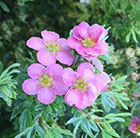 Potentilla fruticosa Lovely Pink  ('Pink Beauty') (PBR)